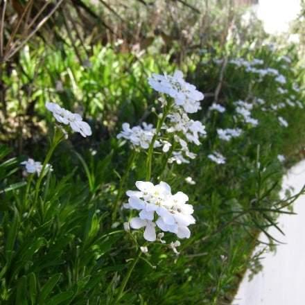 Fleur de mai bleuet